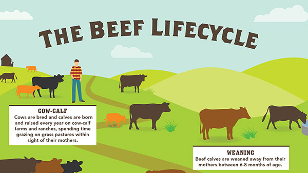 the-beef-lifecycle_preview